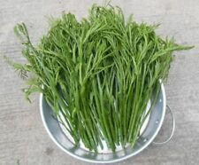 150 seeds oyster leaves Phak kratin green vegetables Seeds Lead tree