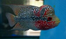 "4"" Kamfa Flowerhorn Red Young Male  Live Tropical Fish Healthy Guaranteed."