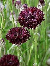 Cornflower- Black Ball,  (Centaurea cyanus) 100 Seeds. Flower