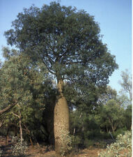 Broad Leaved Bottle Tree Seed Warm Climate