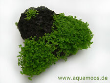 Hemianthus Callitrichoides Cuba 3er-pack in vitro plantes Escargots -/algenfrei