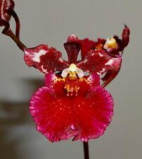 Oncidium Rubin Rosestar NEW Duft blühstarke Pflanze Orchidee Orchideen