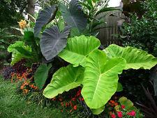 "12 Rare Giant Elephant Ear Plant Seeds - Alocasia Macrorrhiza ""Borneo Giant"""