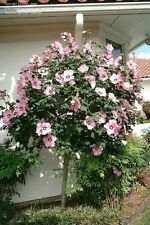 """Growers Bundle Of 12! A Dozen 12-15"""" Healthy Hardy Hibiscus Tree Rose Of Sharon"""