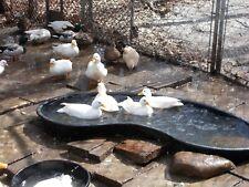 Call Duck Hatching Eggs 6 +