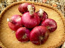 VEGETABLE - RED ONION SEEDS - ROSSA DI TOSCANA - 500 SEEDS