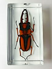 PROSOPOCOILUS SAVAGEI ( Togo ). Real insect embedded in clear resin