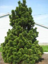 White pine (Pinus leucodermis) 20 seeds