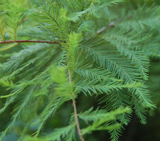 "1 Bald Cypress Tree(Taxodium Distichum)4"" container Spring Sale!!"