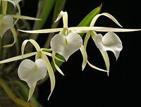 Night Fragrant! ~ Brassavola Orchid ~ B. little stars 'Yasuji Takasaki'