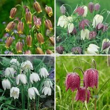 More details for fritillaria uva vulpis meleagris mixed garden spring summer flowers bulbs plants