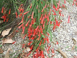 Russelia Red,plant