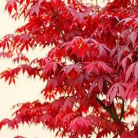 10stk Samen Acer palmatum Roter japanischer Fächerahorn Plant
