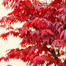 10stk Samen Acer palmatum Roter japanischer Fächerahorn Plant W3N1