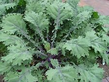 Kale Red Russian (400seeds)- Organic Heirloom from Life-Force Seeds