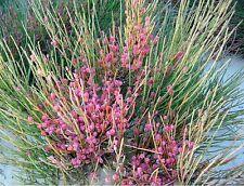 EFEDRA  medicinal Ephedra Fragilis 75  semillas seeds graines samen
