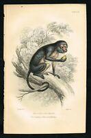 1834 White-eyelid Mangabey Monkey, Hand-Colored Antique Engraving Print - Lizars