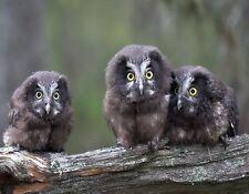 METAL MAGNET Image Of Three Young Boreal Owls Birds Owl Bird Humor MAGNET
