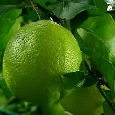 DWARF KEY LIME CITRUS Tree Produces Full Size Fruit Dwarf Tree