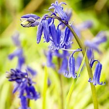 1000 English 'Bluebell Bulbs' Top Quality Freshly-Lifted Spring Flowering Bulbs