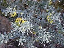 Acacia podalyriifolia (10 graines)