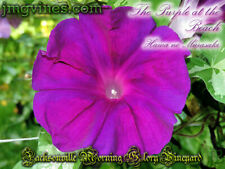 The Purple at the Beach / Hama no Murasaki Japanese Morning Glory 6 Seeds