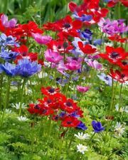 10x De Caen Mixed Anemone Bulbs Tubers Blue Red White Spring Flower Hardy Easy