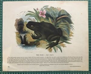 1845 Antique Print; The Toad by SDUK