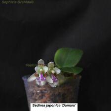 SOI112 Sedirea japonica 'Daruma' Mini Frag Bare Root T547