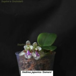 SOI112 Sedirea japonica 'Daruma' Mini Frag Bare Root T547