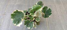 Farfugium japonicum argenteum, variegated rare plant