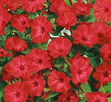 FOUR O'CLOCK FLOWER SEEDS - RED - BULK  *****