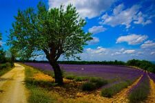 """Lavender tree art photography Provence France 8"""" x 10"""" print  FREE SHIPPING"""