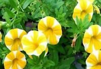 Yellow & White  Phantom Petunia Flower Seeds  100 SEEDS --BUY 4 ITEMS FREE SHIP