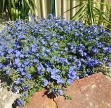 100 x BLUE EYES Evolvulus pilosus groundcover blue flowers plants in 40mm pots