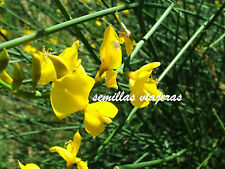 Retama de olor, Spartium junceum 200 semillas, spanish broom seeds graines samen