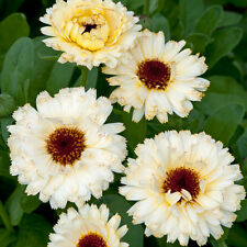 Calendula - Snow Princess - 100 Seeds