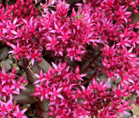 SEDUM DRAGON'S BLOOD Sedum Spurium - 1,500 Bulk Seeds