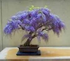 300 X Emperatriz árbol Semillas. árbol de semillas que pueden utilizarse para Bonsai.