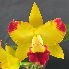 RON. Quality Cattleya.  FS / NFS - Rth Chunfong Smile 'Cluster'