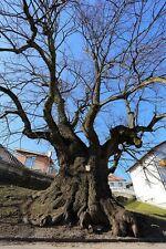 Tilia platyphyllos-Grande Hoja De Cal, o Linden Tree 20 semillas.