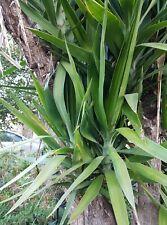 Grand yucca d'extérieur -  lot de 2 boutures 40 cm