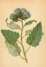ALPENFLORA ALPINE FLOWERS:Saussurea discolor(W.)DC-Zweifarbige Alpenscharte;1897