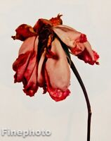 1980 Vintage IRVING PENN Botanical FLOWER ROSE Photo Engraving Floral Art 12X16