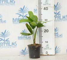 Licuala spinosa 20-30 cm, por 12 cm