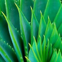 THE ONLY After-Microdermabrasion Moisturizer: 100% PURE ORGANIC ALOE VERA GEL