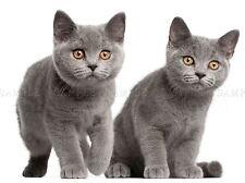 British à Poil Court chatons pattes orange yeux photo Art Imprimé Poster bmp2241a