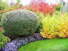 6 X GARDEN SHRUB PLANTS, MIXED LOT OF QUALITY SHRUBS WINTER HARDY, IN 9cm POTS