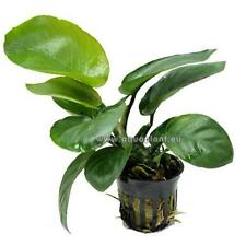 Anubia Barteri Topf, robuste Wasserpflanze, Aquarienpflanze, Barsch & Wels fest