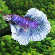 Live Betta Fish Purple White Butterfly HM Male From Indonesia Breeder